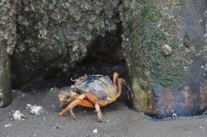 Erholung-in-Hooksiel Krabbe